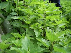 La MelisMelissa, erba selvaticaa: la hierba del buen humor