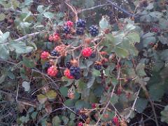 La Zarza: una planta con fructos muy bonitos