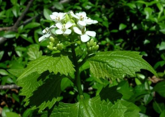 La ajera: la hierba al olor de aje