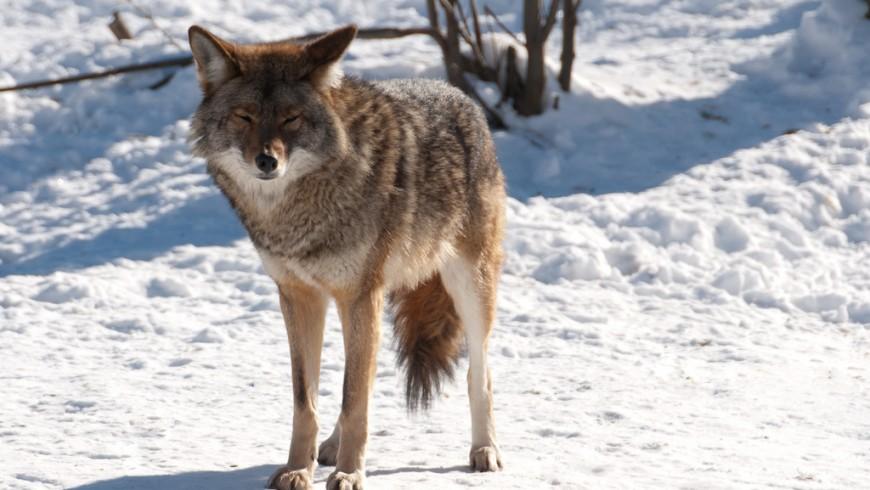 Coyote. Foto de mrpolyonymous vía Flickr
