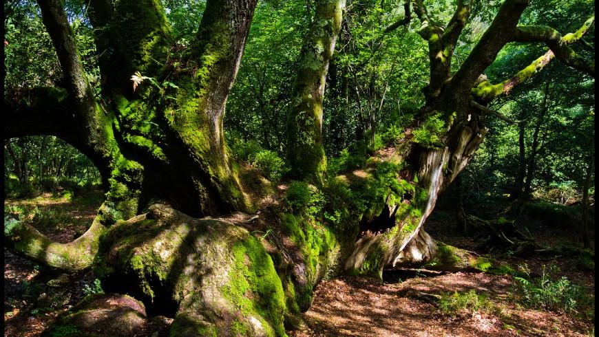 Roble Tumbado en Ucieda, Parque Natural de Saja-Besaya