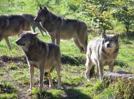 Branco di lobos fotografia de Spiterman via Flickr