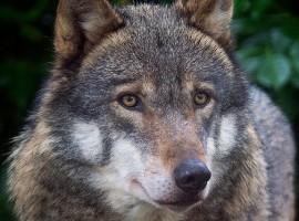 Un magnífico primer plano del lobo fotografia de Helen Haden via Flickr