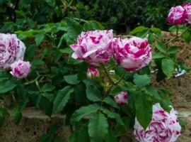 Las rosas de Casacocò