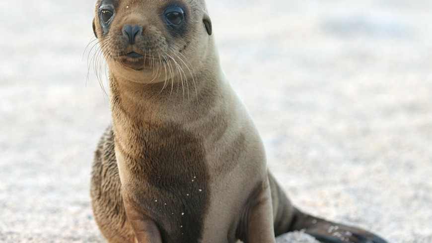 León marino de Las Islas Galápagos, Ecuador