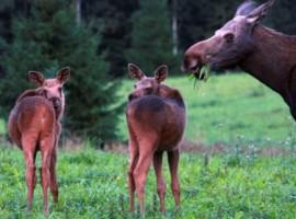 Animales del Klarbyn Ecolodge, Suecia.los 19 hoteles más extraños del mundo