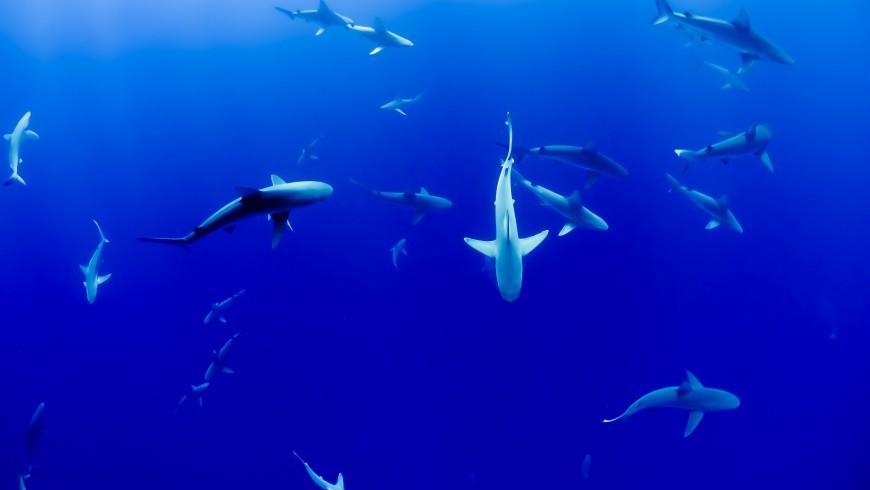 Tiburones blancos en Sudáfrica