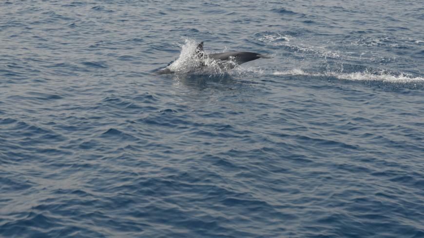 Delfines en Génova mar adentro