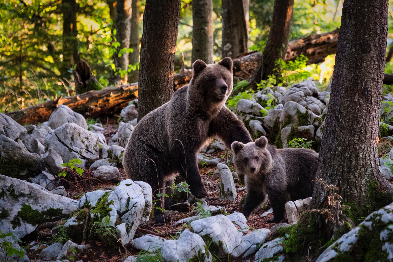 Observar osos en Eslovenia: unas vacaciones diferentes