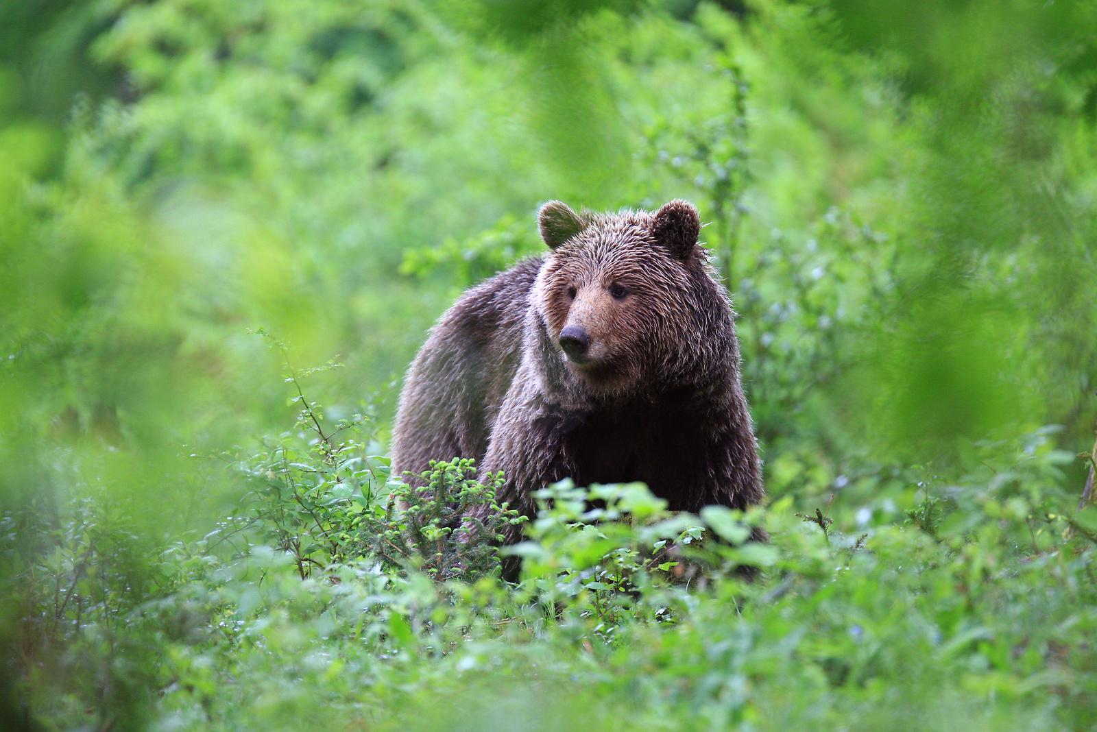 Observar sigilosamente un oso pardo