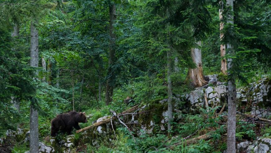Sigue los pasos de un carismático oso pardo