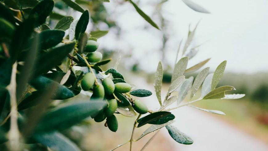 degustar olivares