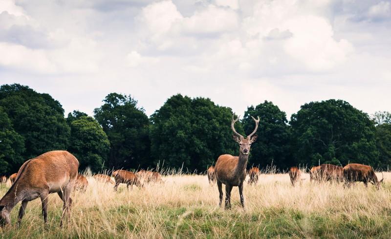 Ciervos en Richmond Park, en Londres, una de los Top 10 Ciudades Veganas en Europa
