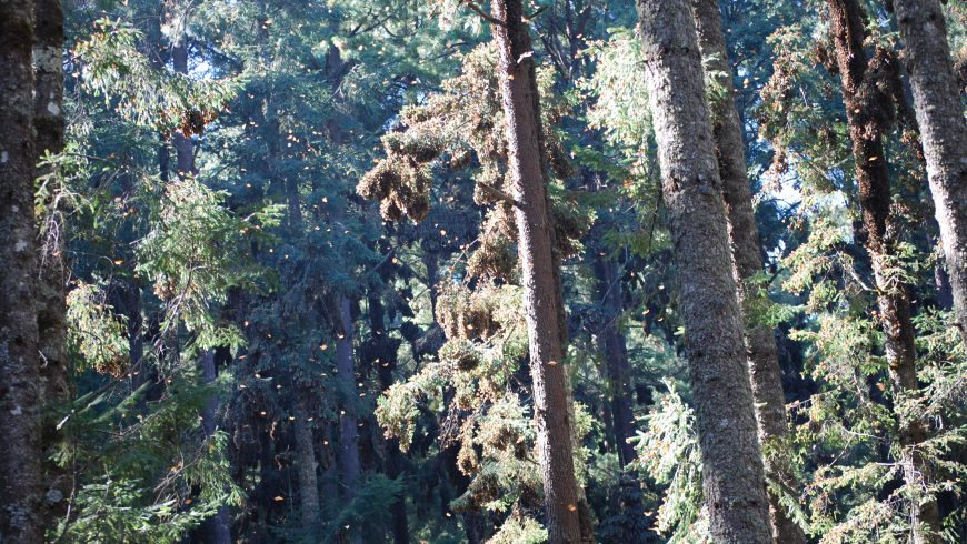 Bosque Michoacan, Reserva Mariposa Monarca