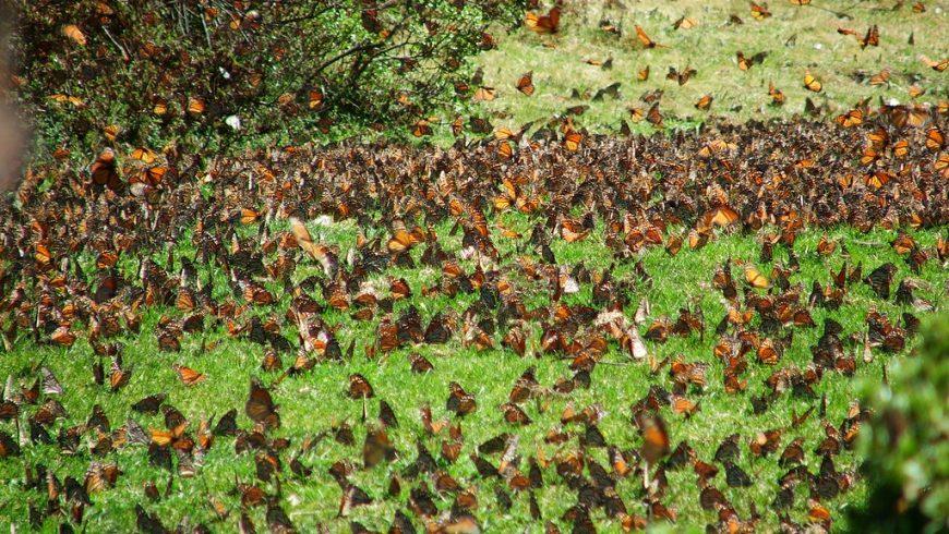 Reserva Mariposa Monarca, Michoacan, Mexico