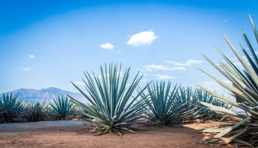 agave, tequila